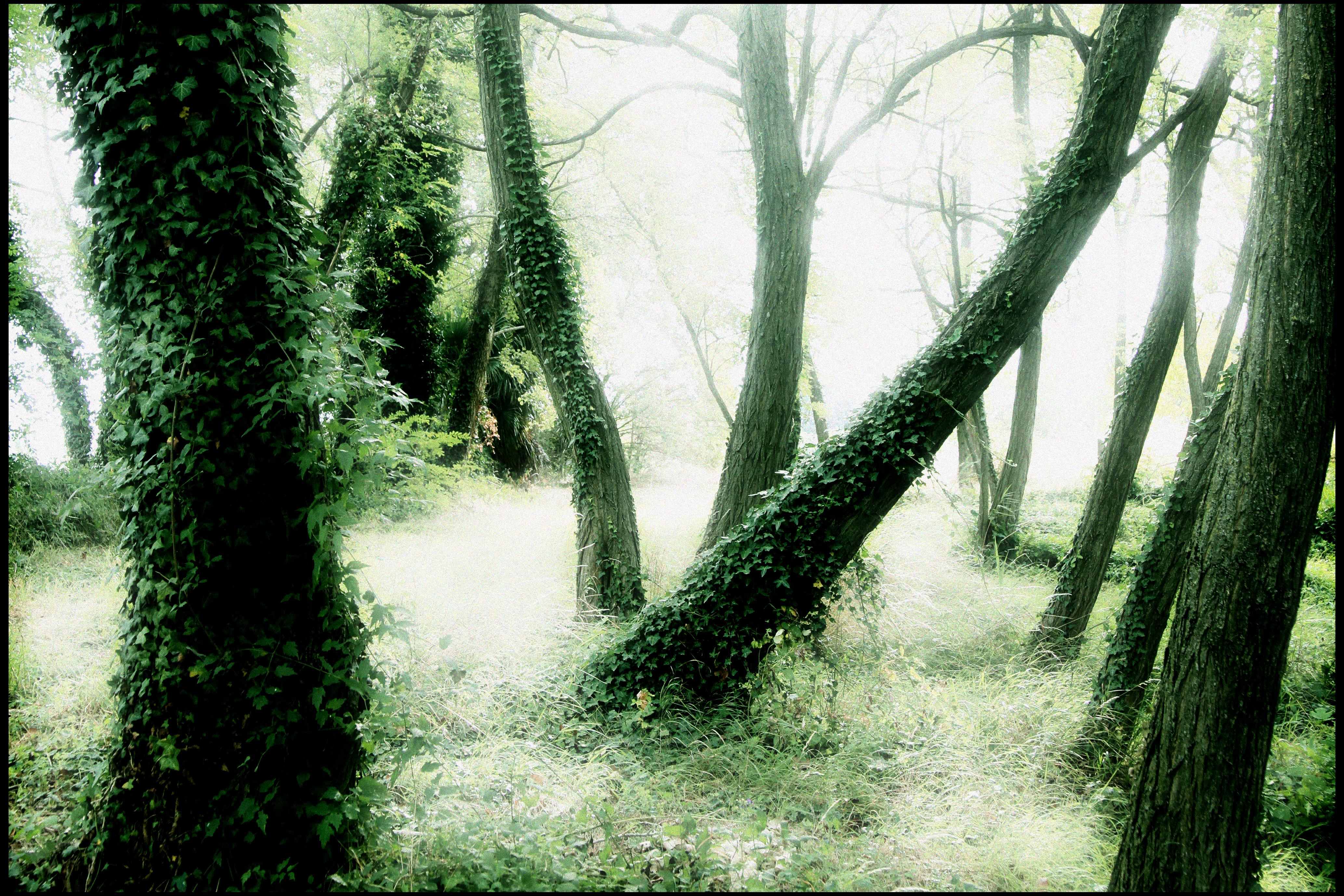 forêt d'accacias